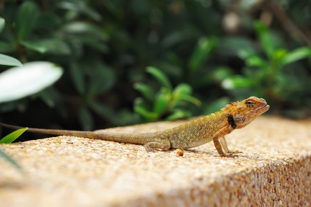 Wild lizard in Thailand close-up photo