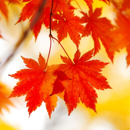 japanese maples: Autumn maple leaves in sunlight