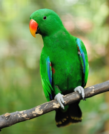 Beautiful green eclectus parrot bird Stock Photo - 15829549