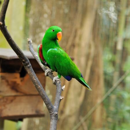 Beautiful green eclectus parrot bird Stock Photo - 15829545