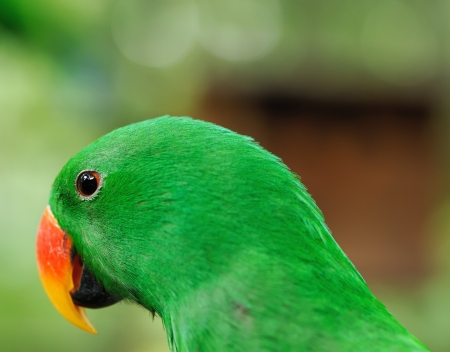 Beautiful green eclectus parrot bird Stock Photo - 15829584