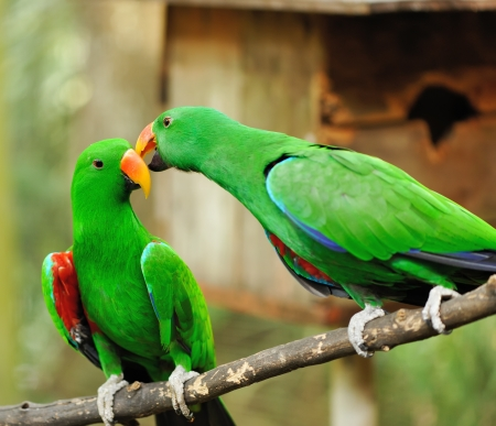 Beautiful couple of green eclectus parrots Stock Photo - 15829547