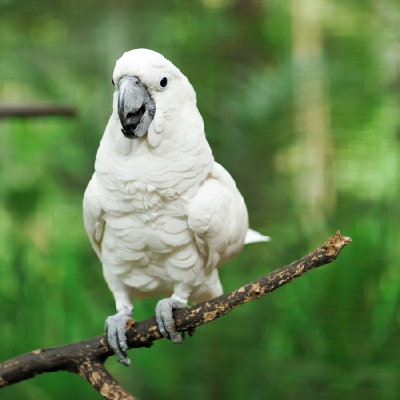 Beautiful white cockatoo parrot bird Stock Photo - 15829542