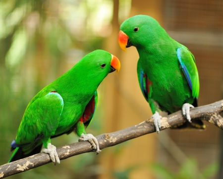 the two parrots: Beautiful couple of green eclectus parrots Stock Photo