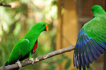 eclectus: Beautiful couple of green eclectus parrots Stock Photo