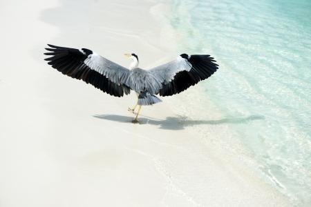 grey heron: Heron at the beach on Maldivian island
