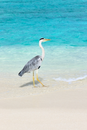 Heron at the beach on Maldivian island