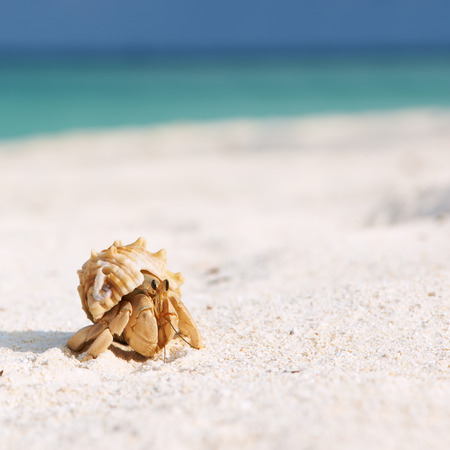 Hermit crab on beach at Maldives photo