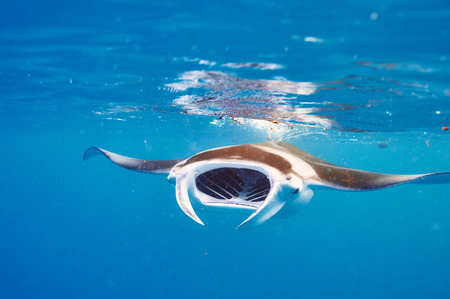 Manta ray floating underwater among plankton photo