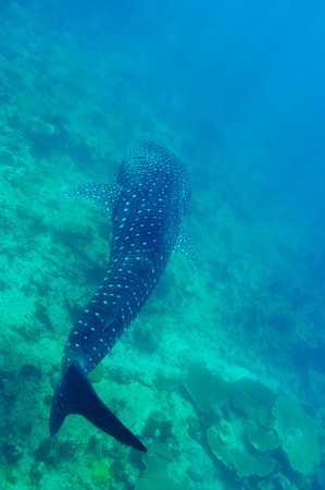 clear waters: Whale Shark (Rhincodon typus) swimming  in crystal clear blue waters at Maldives Stock Photo