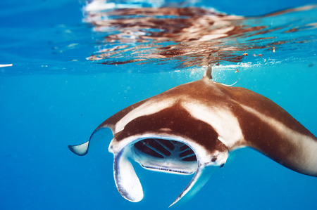 Manta ray floating underwater among plankton