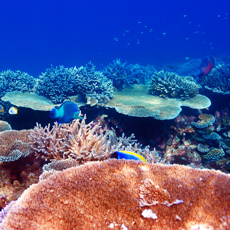 Coral reef at South Ari Atoll, Maldives photo