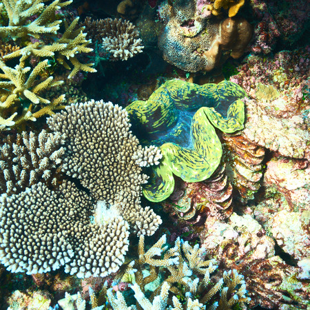 Giant clam (Tridacna gigas) at the tropical coral reef photo