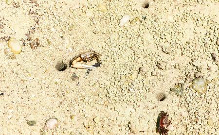 fiddler: Small fiddler crab at the mangrove