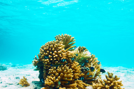 hard coral: Coral reef at South Ari Atoll, Maldives Stock Photo