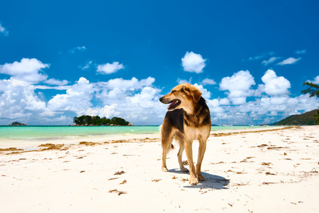 Dog at beach. Seychelles, Praslin, Cote d'Or