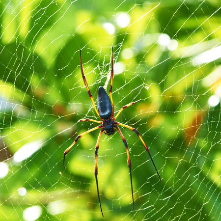 spider net: Giant wood spider - Nephila maculata  nephila pilipes, the Golden Orb Weaver or Banana Spider at Seychelles, Mahe. Stock Photo