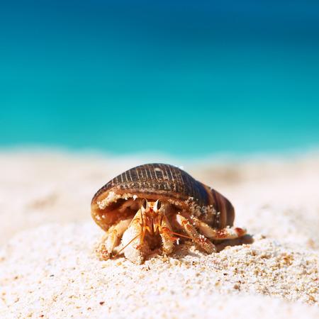 the crab: Cangrejo de ermita�o en la playa en las Seychelles
