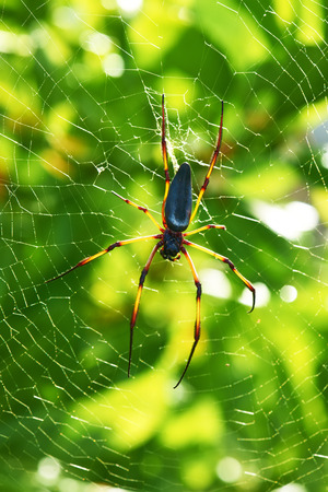 wood spider: Giant wood spider - Nephila maculata  nephila pilipes, the Golden Orb Weaver or Banana Spider at Seychelles, Mahe. Stock Photo