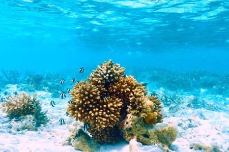 exotic fish: Coral reef at South Ari Atoll, Maldives Stock Photo