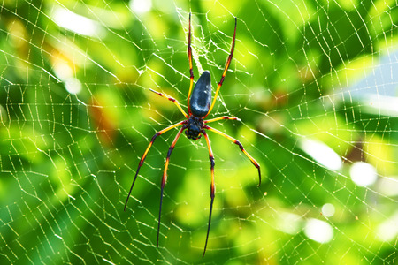 web2: Giant wood spider - Nephila maculata  nephila pilipes, the Golden Orb Weaver or Banana Spider at Seychelles, Mahe. Stock Photo