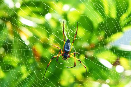 Giant wood spider - Nephila maculata  nephila pilipes, the Golden Orb Weaver or Banana Spider at Seychelles, Mahe. photo