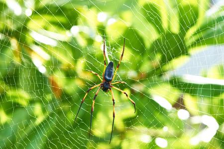 golden orb weaver: Giant ragno di legno - pilipes Nephila maculata  Nephila, il Golden Orb Weaver o Banana Spider alle Seychelles, Mahe.