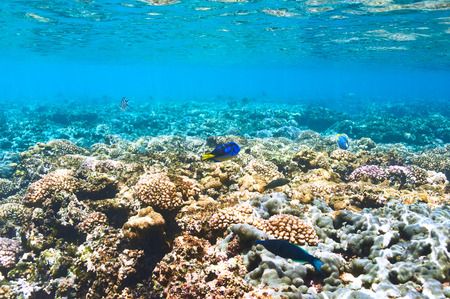 underwater: Coral reef and fish at Seychelles