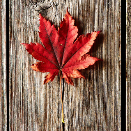 rough: Autumn maple leaf over old wooden background with copy space