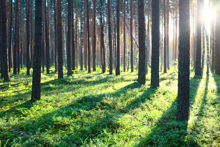 pine green: Early morning with sunrise in pine forest