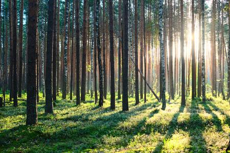arbol de pino: Temprano en la ma�ana con la salida del sol en el bosque de pinos Foto de archivo