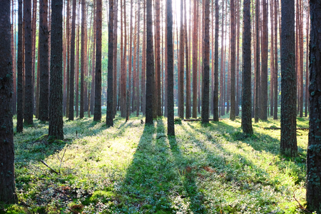forest trees: Early morning with sunrise in pine forest