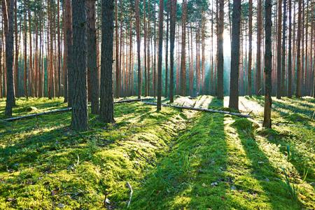dia soleado: Temprano en la ma�ana con la salida del sol en el bosque de pinos Foto de archivo