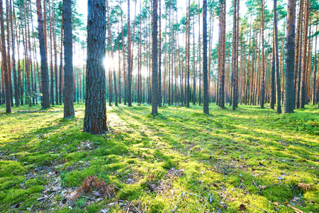 pine forest: Early morning with sunrise in pine forest