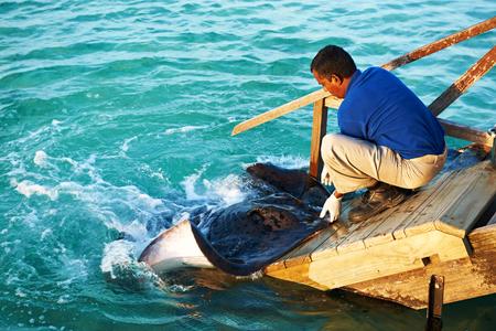 feed: SOUTH ARI ATOLL, MALDIVES - DECEMBER 12 2013: Stingray feeding