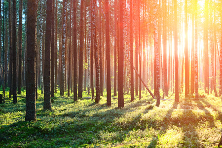 summer trees: Early morning with sunrise in pine forest