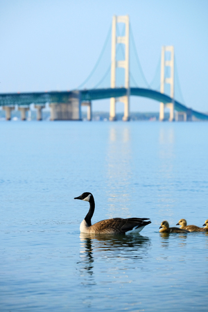 mackinac: Duck with ducklings with Mackinac suspension bridge at background, built in 1957, Michigan, USA