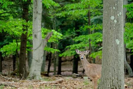venado cola blanca: Ciervos en el bosque, Michigan, EE.UU. Foto de archivo
