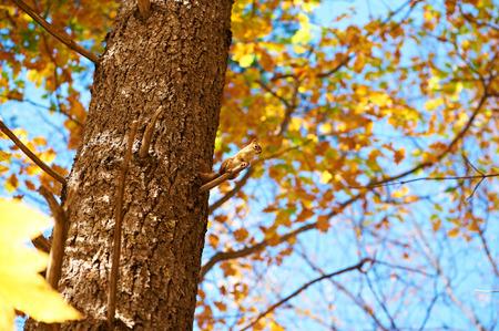ardilla: Autumn scene with chipmunk somewhere in New England