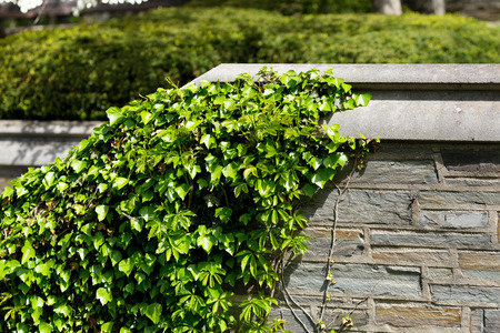 ivy wall: Ivy wall in Ithaca, New York