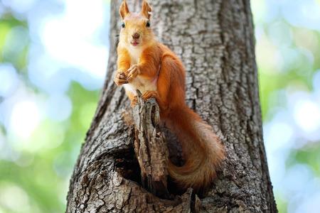 animales de la selva: ardilla roja en un árbol