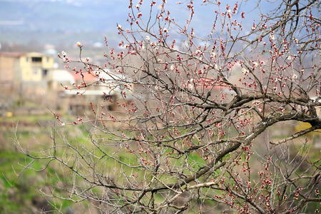 early blossoms: Early spring blossoms in Armenia Stock Photo