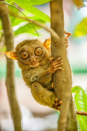 wild asia: Tarsier monkey in natural environment, Philippines