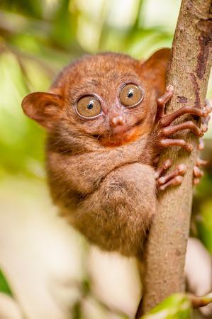 Tarsier monkey in natural environment, Philippines