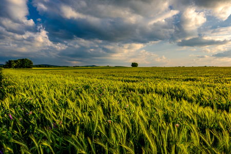 Green wheat field in warm sunshine under dramatic sky, fresh vibrant colors, at Rhine Valley (Rhine Gorge) in Germany