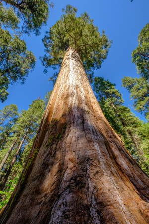 Sequoia tree in Calaveras Big Trees State Park. California, United States.