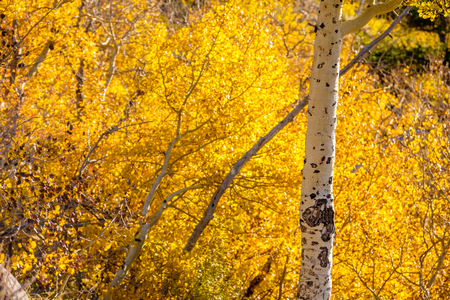 Aspen grove at autumn in Rocky Mountain National Park. Colorado, USA. Фото со стока