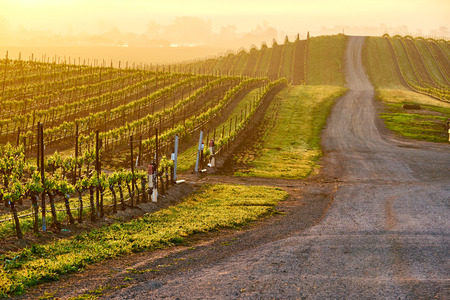 Vineyards landscape at sunrise in California, USA Stock Photo