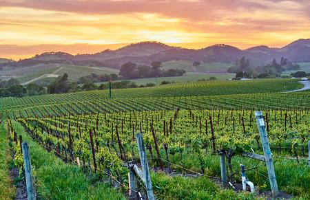 Paisaje de viñedos al atardecer en California, EE. Foto de archivo