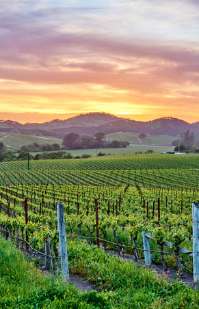 Weinberglandschaft bei Sonnenuntergang in Kalifornien, USA